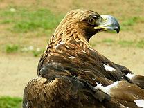 gezaehmter greifvogel mongolei