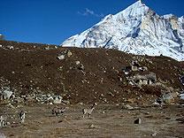 himalaya blauschaf sikkim indien