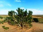 Saxal Tree Gobi Mongolia