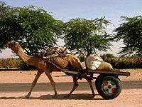kamel transport rajasthan indien