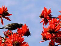 korallenbaum vogel sikkim indien