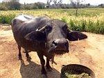 Water Buffalo Rural Rajasthan, India