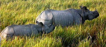 panzer nashorn kaziranga nationalpark indien