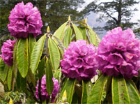 rhododendron lila sikkim indien