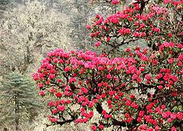 rhododendron singelela trekking hoehenweg
