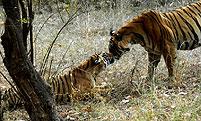 tiger kuss ranthambore nationalpark rajasthan indien