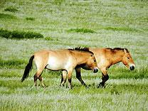 wilde pferde nationalpark mongolei